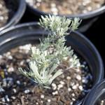 Big Sage - Grow Wild
